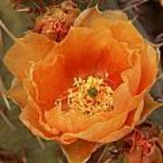 Prickly Pear Cactus Blooming In The Sandia Foothills Art Print