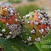 Prickly Pear With Cochineal Bugs Art Print
