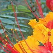 Pride Of Barbados Photo Art Print