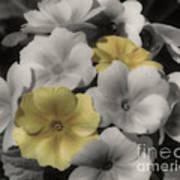 Primrose Flowers Art Print