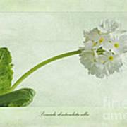 Primula Denticulata Alba Art Print