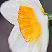 Profile Of A Daffodil Art Print
