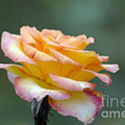 Profile View Yellow And Pink Rose Art Print