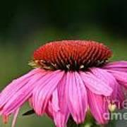 Profiling Echinacea Art Print