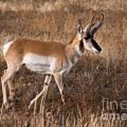 Pronghorn Antelope 2 Art Print