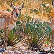 Pronghorn Antelope Art Print