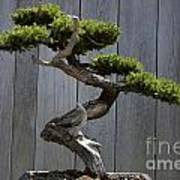 Prostrate Juniper Bonsai Tree Art Print