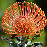 Protea - One Of The Oldest Flowers On Earth Art Print by Christine Till