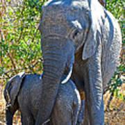 Protective Mother Elephant In Kruger National Park-south Africa Art Print