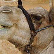 Proud Bou Bou Camel Sinai Egypt Art Print