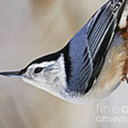 Proud Nuthatch... Art Print