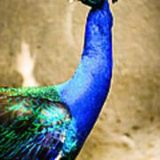 Proud Peacock Art Print