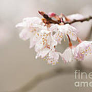 Prunus Hirtipes Art Print