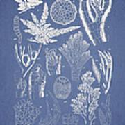 Pterosiphonia Fibrillosa Art Print