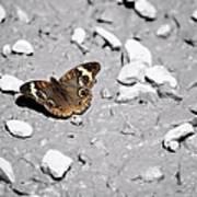 Puddling Butterfly 8766 Art Print