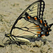 Puddling Eastern Tiger Swallowtail Butterfly Art Print