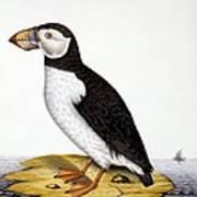 Puffin, Marmon Fratercula, Circa 1840 Art Print