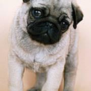 Pug Puppy Dog Art Print