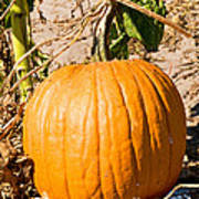 Pumpkin Growing In Pumpkin Field Art Print