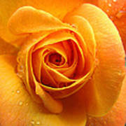 Pure Gold - Roses From The Garden Art Print