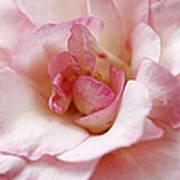 Pure Rose Art Print
