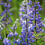 Purple Alaskan Lupines Art Print