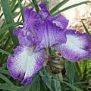 Purple And White Iris Art Print