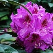 Purple Azalea Art Print