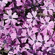 Purple Beauty Phlox Art Print