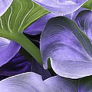 Purple Calla Lily Bush Art Print