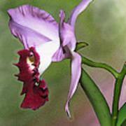 Purple Cattleya Orchid In Profile Art Print
