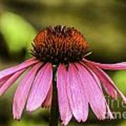 Purple Coneflower - Single Art Print