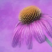Purple Coneflower - Echinacea Purpura Art Print