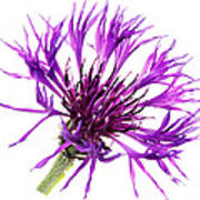 Purple Cornflower Art Print by Jo Ann Snover