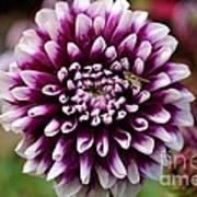 Purple Dahlia White Tips Art Print