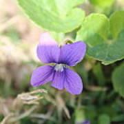 Purple Garden Flower Art Print