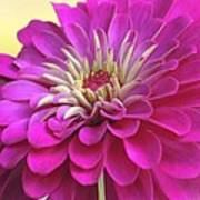 Purple Giant Zinnia Art Print