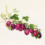 Purple Gooseberry Art Print