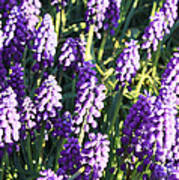 Purple Grape Hyacinth  Art Print