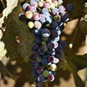 Purple Grapes Art Print