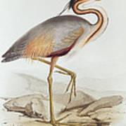 Purple Heron Art Print