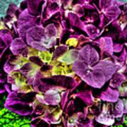 Purple Hortensia After Summer Rain Art Print