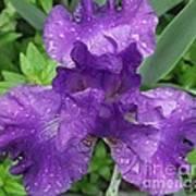 Purple Iris After The Rain Art Print