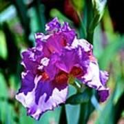 Purple Iris Opens Art Print