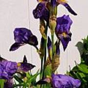 Purple Iris Stalk Art Print