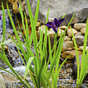 Purple Irises Growing In Waterfall Art Print