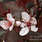 Purple Leaf Sand Cherry Burst Art Print
