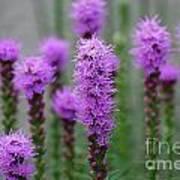 Purple Liatris Flowers Art Print