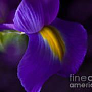 Purple Light Iris Macro Art Print