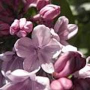 Purple Lilac Art Print